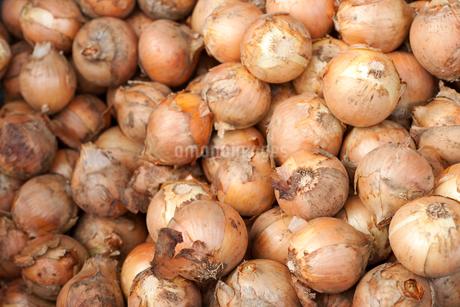 収穫したタマネギの写真素材 [FYI02421403]