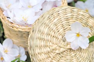 かごの中の桜の花の写真素材 [FYI02423682]