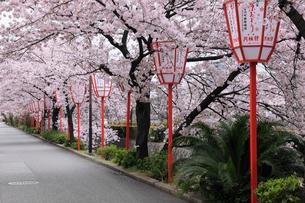 桜咲く祇園宮川町の写真素材 [FYI02427610]