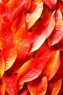 サクラの葉の紅葉の写真素材 [FYI02437452]