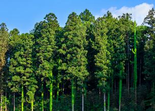 蔦が巻きつくスギ林の写真素材 [FYI02438159]