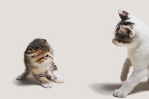 怖いもの知らずに睨み合う子猫の写真素材 [FYI02445960]