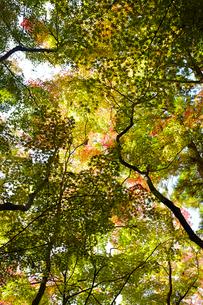 見上げた複数の紅葉した木の写真素材 [FYI02449627]