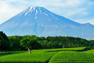 新茶畑と残雪の富士山の写真素材 [FYI02450953]