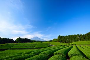 新茶畑と富士山の写真素材 [FYI02450974]