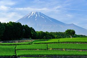 新茶畑と残雪の富士山の写真素材 [FYI02451162]