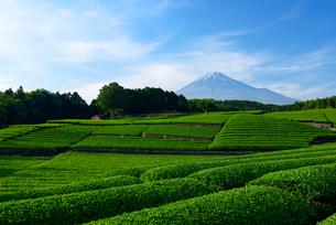 新茶畑と富士山の写真素材 [FYI02451171]