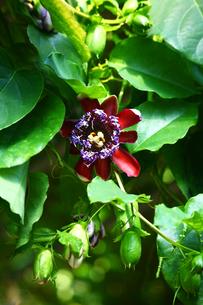 温室に咲くオオミノトケイソウの写真素材 [FYI02454460]
