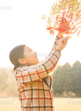 紅葉の中でナナカマドの実をとる小学生の写真素材 [FYI02457168]
