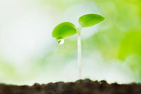 緑の中の水滴のついた双葉の写真素材 [FYI02457783]