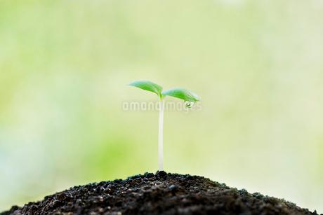 水滴のついた双葉の写真素材 [FYI02458316]