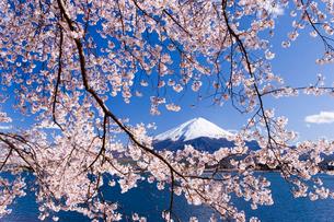 桜と富士山の写真素材 [FYI02458655]