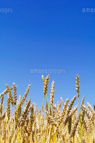 青空と収穫期の小麦の穂の写真素材 [FYI02459183]