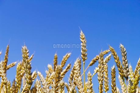 青空と収穫期の小麦の穂の写真素材 [FYI02459407]