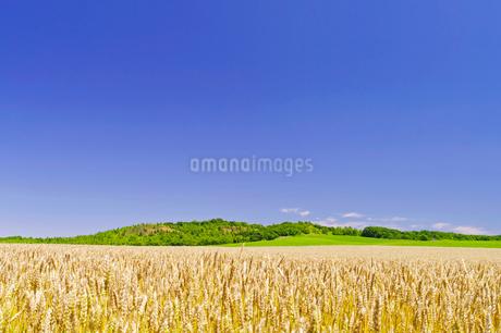 実り豊かな小麦畑と緑の丘の写真素材 [FYI02459470]