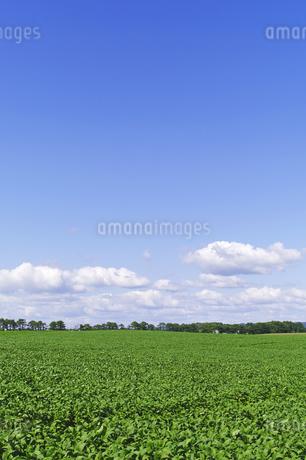 広い大豆畑と青空の写真素材 [FYI02459471]