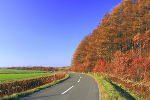 紅葉した唐松林とカーブした道路の写真素材 [FYI02460129]