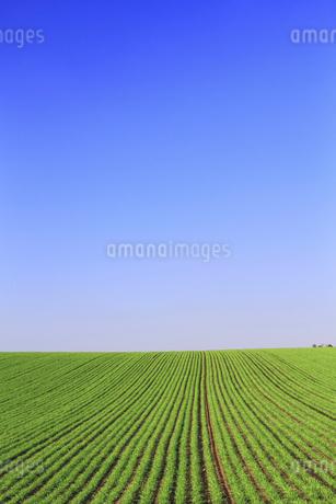丘の秋まき小麦の畝と青空の写真素材 [FYI02460199]