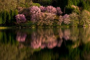 朝の中綱湖と湖畔の大山桜の写真素材 [FYI02461292]