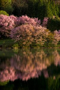 朝の中綱湖と湖畔の大山桜の写真素材 [FYI02462133]