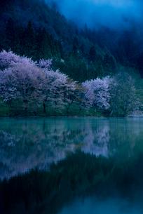夜明けの中綱湖 大山桜の写真素材 [FYI02462325]