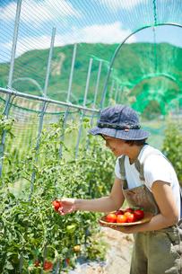畑のトマトを収穫する女性の写真素材 [FYI02465310]