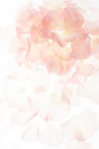 淡いピンクのスイートピーの花びらの写真素材 [FYI02465351]