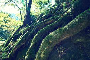 苔むした森の写真素材 [FYI02465354]