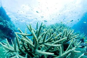 エダサンゴと小魚の群れの写真素材 [FYI02465356]