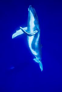 青い海を泳ぐザトウクジラの写真素材 [FYI02465471]