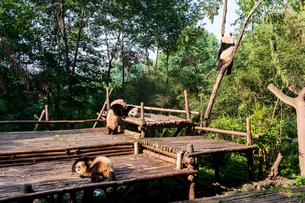 複数のパンダの写真素材 [FYI02465499]