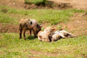 4頭の子豚の写真素材 [FYI02465589]