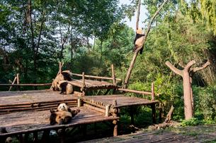 複数のパンダの写真素材 [FYI02465629]