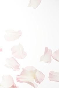淡いピンクのスイートピーの花びらの写真素材 [FYI02465630]