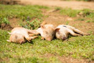 3頭の子豚の写真素材 [FYI02465776]