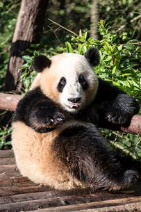 1頭のパンダの写真素材 [FYI02465997]
