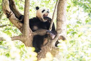 木に登る1頭のパンダの写真素材 [FYI02466249]