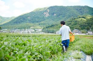 野菜が入ったカゴを抱えて畑を歩く男性の後ろ姿の写真素材 [FYI02466261]