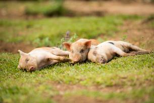 3頭の子豚の写真素材 [FYI02466531]