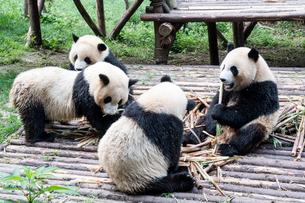 笹を食べる4頭のパンダの写真素材 [FYI02466569]