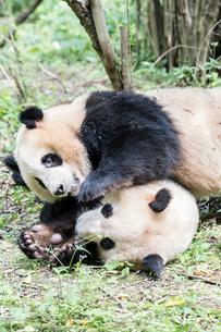 2頭のパンダの写真素材 [FYI02466604]