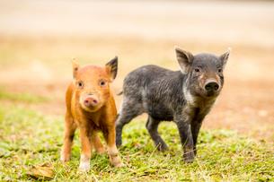 2頭の子豚の写真素材 [FYI02466679]