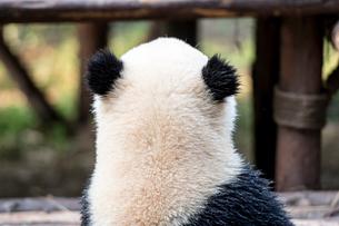 パンダの後ろ姿の写真素材 [FYI02466707]