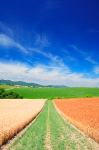 赤麦畑と小麦畑と道の写真素材 [FYI02466711]