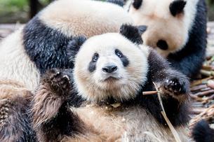 笹を食べるパンダの写真素材 [FYI02466783]