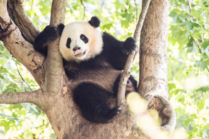 木に登る1頭のパンダの写真素材 [FYI02466831]