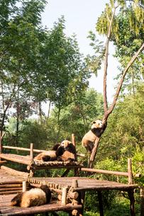 複数のパンダの写真素材 [FYI02466845]