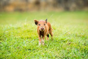 子豚の写真素材 [FYI02466857]