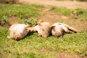 3頭の子豚の写真素材 [FYI02466866]