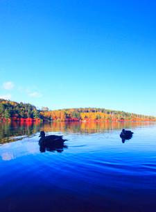 水鏡のドウダンツツジなどの紅葉の樹林とカモのペアの写真素材 [FYI02467327]